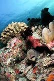 Giant moray eel, Maldives stock image