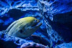 Giant Moray Eel Stock Photos
