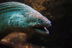 Giant Moray Eel with open mouth Royalty Free Stock Image
