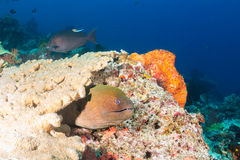 Giant Moray Eel on a reef Stock Images