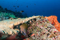 Giant Moray Eel on a reef stock photos