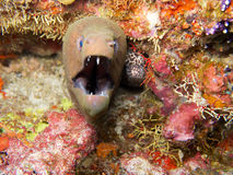 Giant moray eel in Maldives Stock Photo