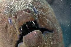 Giant Moray Eel Royalty Free Stock Image