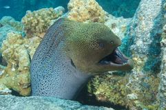 Giant moray eel showing defensive behaviour Stock Images