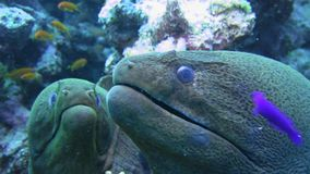 Giant Moray Eels close up in the Red Sea stock video footage