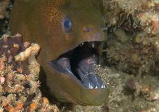 Giant moray eels Gymnothorax javanicus cleaned by cleaner shrimp at cleaning station, Bali, Indonesia stock images