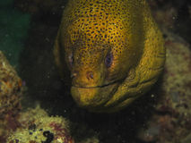 Giant moray. A giant moray ell hiding in the shadow Royalty Free Stock Photography