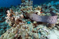 Giant moray free swimming in the Red Sea. Royalty Free Stock Photo