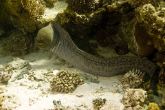 Giant moray (gymnothorax javanicus) Stock Image