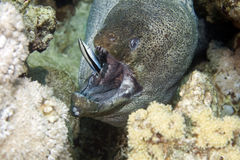 Giant moray (gymnothorax javanicus) and a cleaner. Mimic (aspidontus taeniatus) taken in Middle Garden Royalty Free Stock Photo