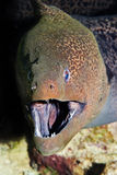 Giant moray Stock Photos