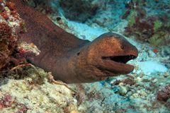 Giant moray Royalty Free Stock Image