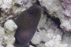Giant moray (Gymnothorax javanicus) Royalty Free Stock Image