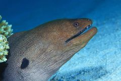 Giant moray Royalty Free Stock Photography