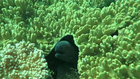 Giant moray hiding  amongst coral reef on the ocean floor, Bali. stock footage