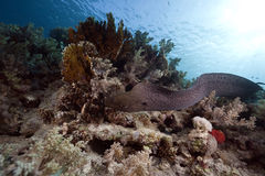 Giant moray, ocean and coral Stock Image