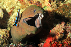 Giant Moray with Open Mouth Showing Teeth Stock Images