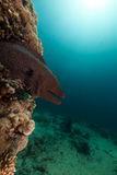 Giant moray in the Red Sea. Stock Photo
