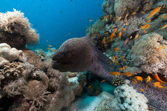 Giant moray in the Red Sea. Stock Images