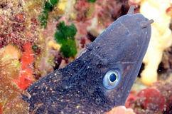 Giant Moray Stock Photography