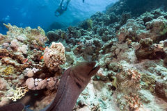 Giant moray and tropical reef in the Red Sea. Stock Images