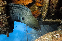 Giant moray on the wreck Stock Photography