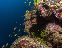 Giant moray (Gymnothorax javanicus), Maldives Stock Photography