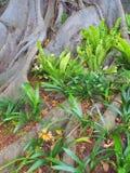 Giant Moreton Bay Fig Tree, Australia Stock Image