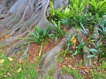 Giant Moreton Bay Fig Tree, Australia Stock Photo