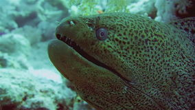 Giant Morey Eel in the Red Sea stock video