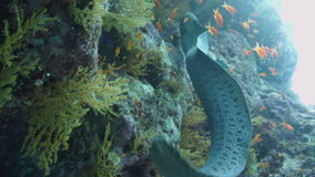 Giant Morey Eel in the Red Sea stock video footage