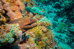 Giant Morey Eel in the Red Sea Stock Photography