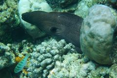 Giant morray Gymnothorax javanicus. The giant moray Gymnothorax javanicus is a species of moray eel and a species of marine fish in the family Muraenidae. In Stock Photos