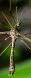 Giant Mosquito Stock Photos
