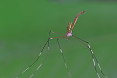Giant mosquito. With long legs royalty free stock images