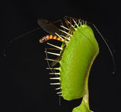 Giant mosquito caught in a trap. Giant mosquito entrapped in jaws of carnivorous plant Royalty Free Stock Photo