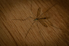 Giant mosquito Stock Photo
