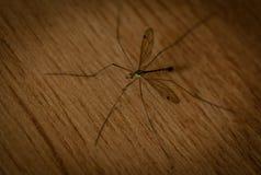 Giant mosquito Stock Photo