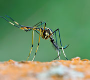 Giant mosquito nature background Royalty Free Stock Photo
