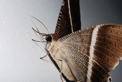 Giant Moth Stock Photos