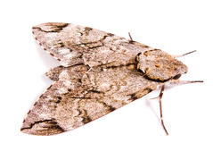Giant Moth. Isolated on white Stock Photo