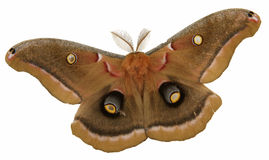 Giant moth Royalty Free Stock Photos