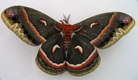 Giant Moth. Cecropia silkmoth (Hyalophora cecropia Royalty Free Stock Photography