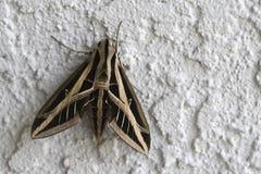 giant moth Στοκ Εικόνες