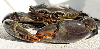 Giant Mud Crab. Scylla serrata. Australian Giant Mud Crab Scylla serrata. Freshly caught, alive, and up close. Also known as Mangrove and Serrated Crab stock images