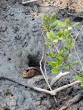 Giant mudskipper. In mangrove forest Stock Image