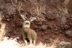 Giant Buck in front of a rock stock image