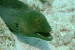 Giant Muray Eel Stock Photos