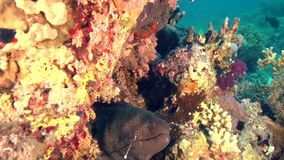 Giant Murey eel Gymnothorax javanicus is very common for Red sea stock footage