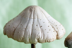 A giant mushroom up close Stock Photo